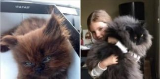 Runt Kitten Grows Up To Be One Massively Fluffy Cuddle Monster!