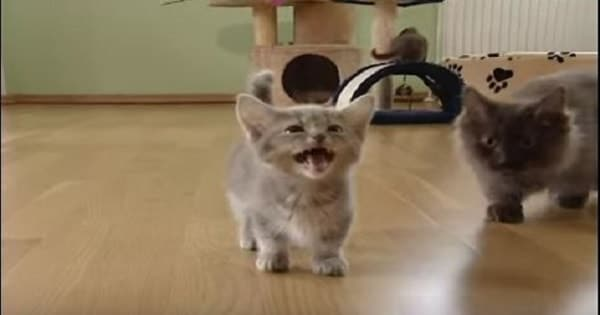 Adorable Munchkin Kitty Seems to Have an Awful Lot to Say!