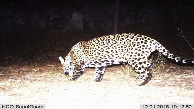 New Wild Cat May Be Roaming the United States!
