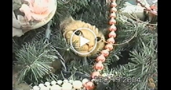 Cat Absolutely Refuses To Leave The Christmas Tree and It's Hilarious!