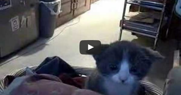 Little Kitten is Totally Adorable When She's in Attack Mode!