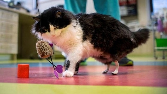 Amputee Cats Are Given Bionic Paws in Groundbreaking Surgery!