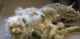 Cat Covered In 5 Pounds Of Fur Looked Like He Was 'Dragging A Carpet' Until ...