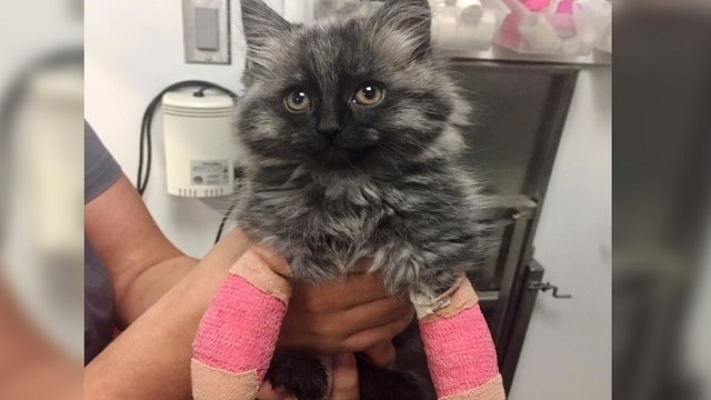 Cat Who Was Born With Broken Front Legs, Finally Gets a Chance To Walk For the First Time!