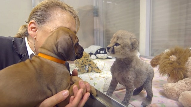 Dog And Cheetah Met As Babies And Now They Are Best Friends