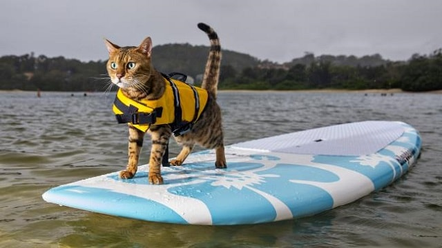 Calypso the Bengal Cat Loves to Cruise On Her Paddleboard!