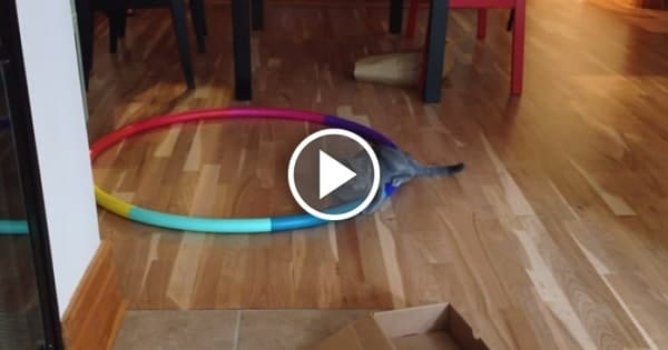 Cat Vs. Hula Hoop – This Is Absolutely Hilarious!