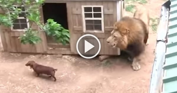 Someone Put Three Dachshunds In This Lion's Enclosure – What Happened Next Will Shock You!