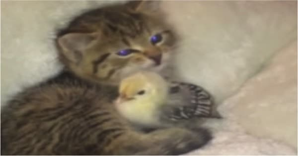 Tiny Kitten Can't Stop Kissing Her New Friend
