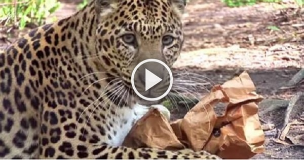 Leopards, Tigers, and Lions at Big Cat Rescue Sample Catnip with Hilarious Results!