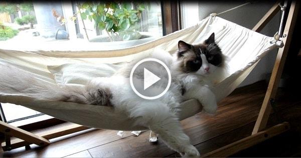Determined Cat Struggles to Climb into New Hammock!