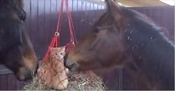 Two Kittens Become Friends With Horses After Playing In Their Hay Net!