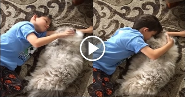 Huge, Fluffy Cat Really Loves His Little Human!