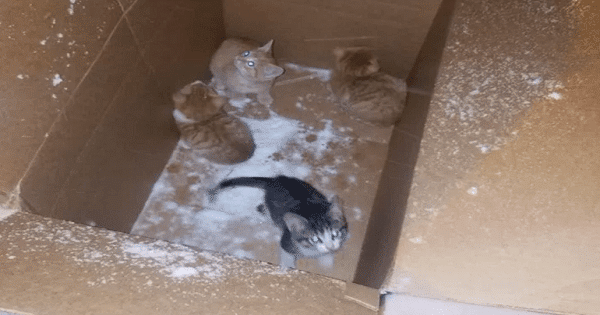 Kittens Abandoned In A Box During Snowstorm Get Rescued In Just a Nick of Time!