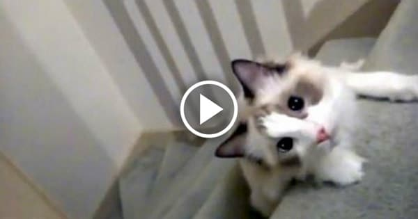 This Cat Has the Cutest Way of Getting Downstairs! Check It Out!