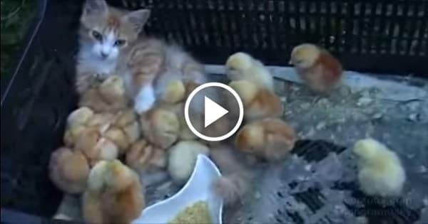 Ginger Kitten Adopts Baby Chicks!