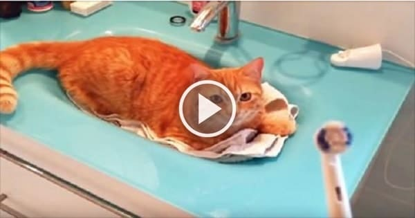 See Ginger Cat Reacts to Man Holding Up Electric Toothbrush!