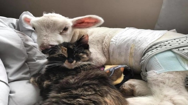 Rescued Cat Absolutely Refuses To Leave Her Baby Lamb Best Friend's Side!