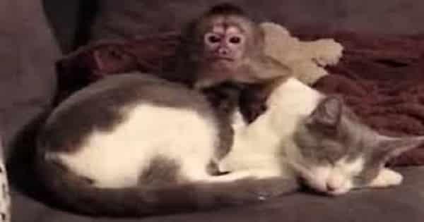 Cute Little Monkey Tries To Wake Up Sleeping Kitty Friend!