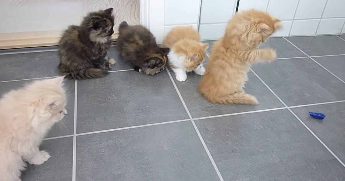 Five Fluffy Persian Kittens Playing With a 'Bug'!