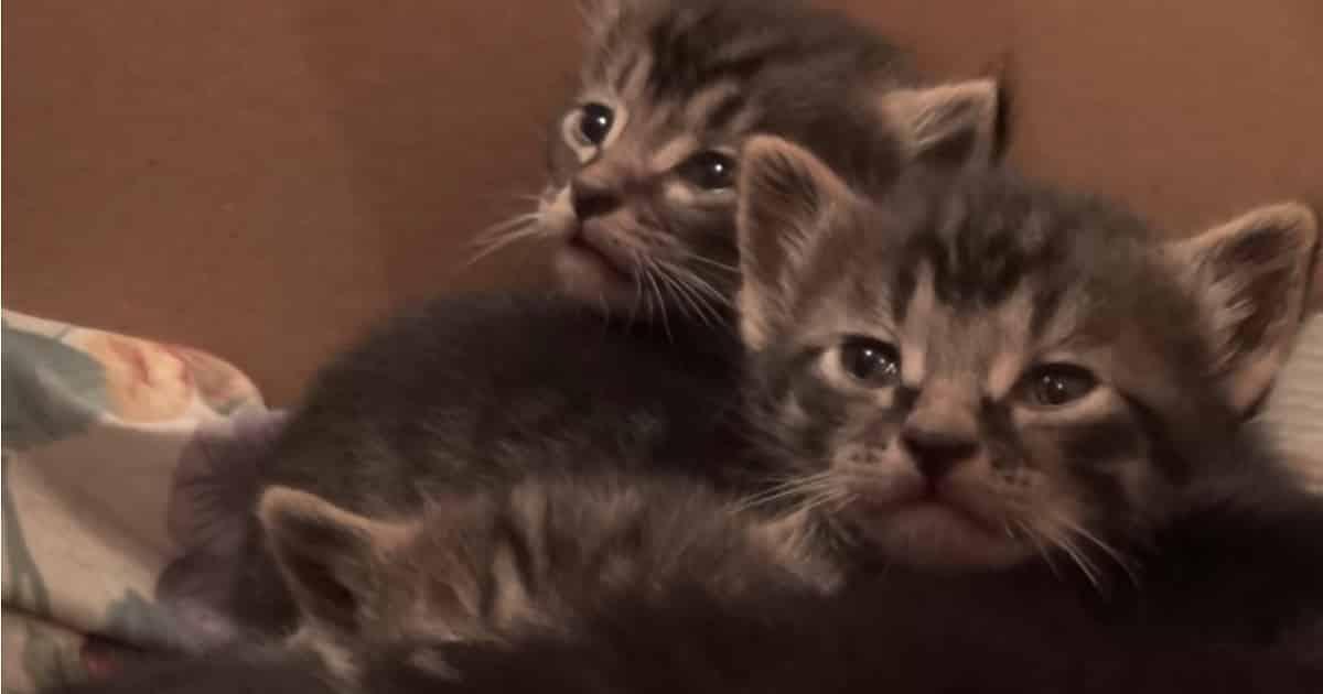 Please Do Not Disturb The Grumpy Little Foster Kittens!