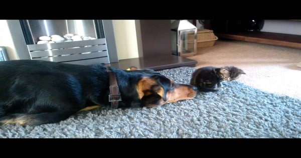 Sweet Huge Dog Tries His Best to Befriend a Tiny Kitten!