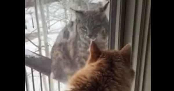 Waffle the House Cat Protects Colorado Home from Wild Visitor!