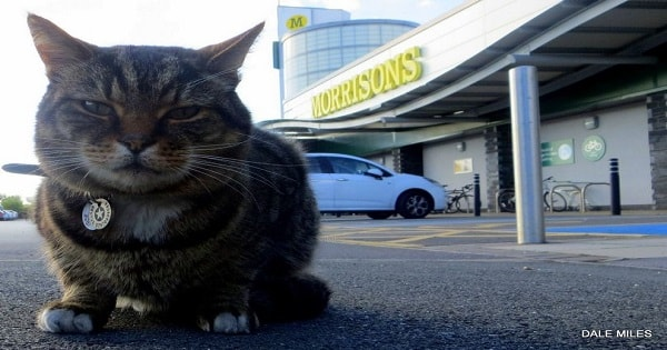Brutus, the Infamous Morrison's cat, Sadly Now Suffering …