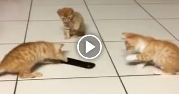 """Three Cute Ginger Kitties Take on """"Scary"""" Remote Control!"""