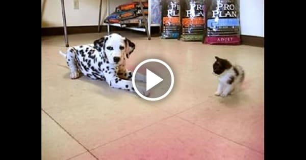 Dalmatian Puppy Meets A Kitten And It's a Total An AWWWW Moment!