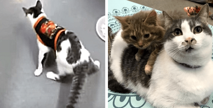 Cat Who Has A Brain Disorder Comforts Disabled Kittens At The Shelter!