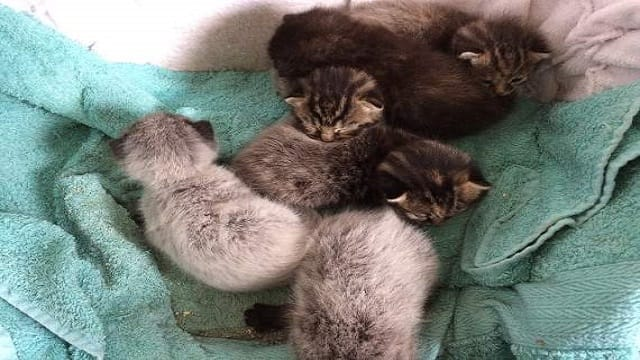 Unique Litter of Kittens Born With 'Fever Coat'. But What Is 'Fever Coat'?