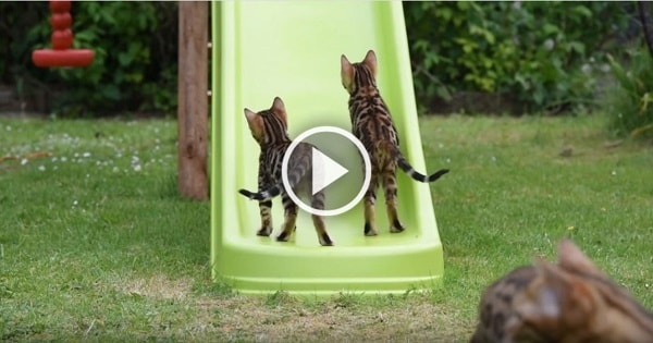Adorable Bengal Cats Playing and Frolicking on Backyard Slide! How Adorable!