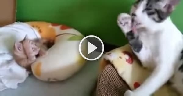 Mama Cat Teaches Attentive Kitten How to Groom Himself!