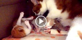 Proud Mama Cat Lovingly Cuddles With Her Newborn Kittens – Sure to Make You Smile!