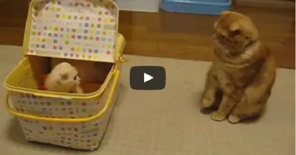 Ganmu The Ginger Cat Meets Tiny Kitten For The Very First Time!