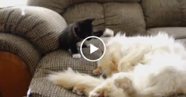 Very Naughty Tuxedo Kitten Annoys Sleeping Cat!