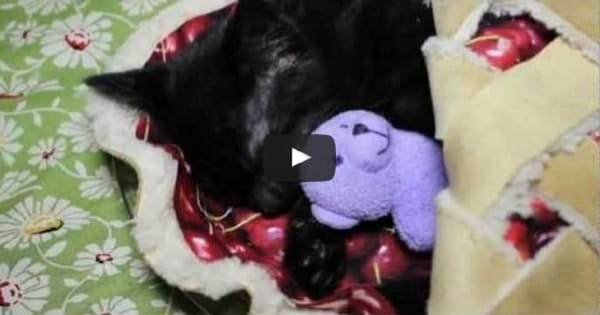 Darling Kitten Sleeps in a Cherry Pie While Cuddling With Teddy Bear!