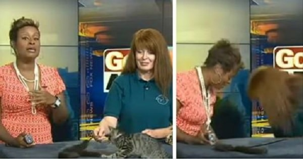 News Anchor Can't Stop Laughing After Excited Kitten Takes A Flying Leap Off Table On Live TV!