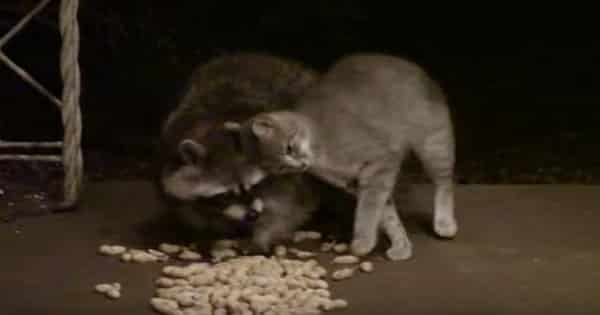 Cat & Raccoon Couple Visit a House For Food Each and Every Night!