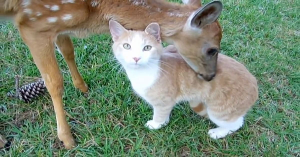 Extremely Friendly Cat Greets Rescued Baby Deer By Giving Kitty Cuddles & Head Bonks!