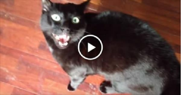 This Cat Just Found Out That His Human Was Petting Other Cat - Now Watch How Jealous the Cat Gets!