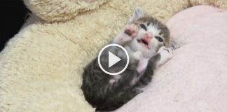 Cutest Self Grooming Kitten