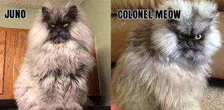 Meet Juno! BUT WAIT! This Cat Reminds Us Of - Colonel Meow!!!!!