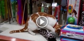 Very Friendly Stray Cat Regularly Visits a Pet Shop for Toys & Free Hugs!