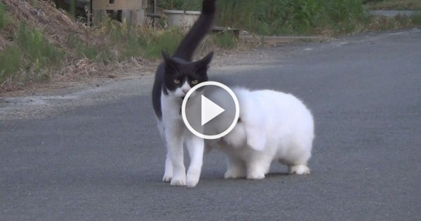 This Fluffy Bunny and This Adorable Cat Walk Together Every Day, Bringing Happiness Around the Neighborhood!