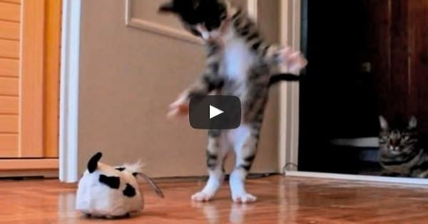 Energetic Kitten Vs a Robotic Dog!