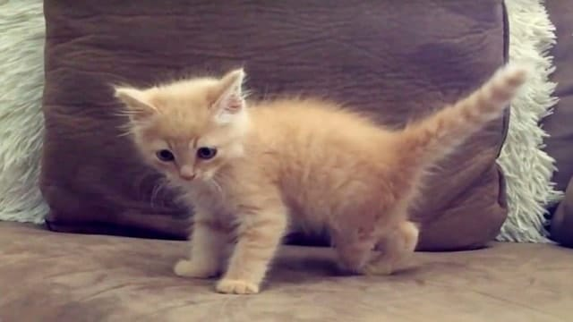 Rescued Ginger Kitten With One Missing Foot Gets …