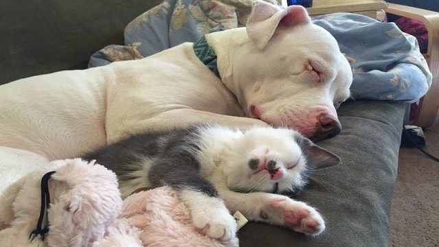 Rescue Pit Bull With Horrific Past Becomes Mom To 20 Foster Kittens!
