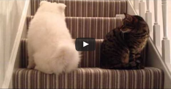 Adorable Doggie Desperately Wants To Befriend Kitty!